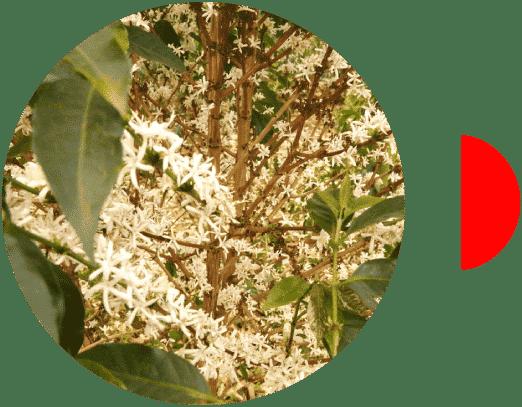 Planta del café en Burundi Kayanza Nemba