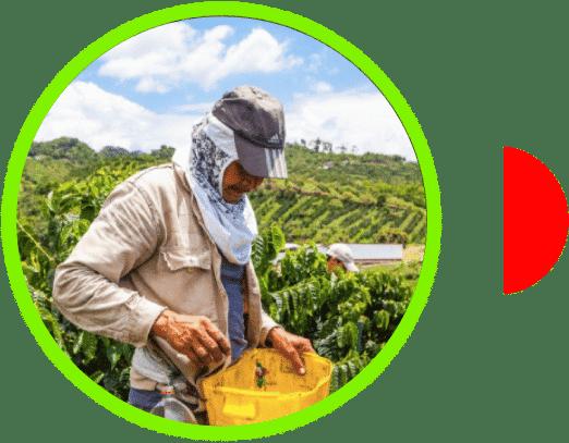 Recolector de café en Finca el Vergel Risaralda Colombia