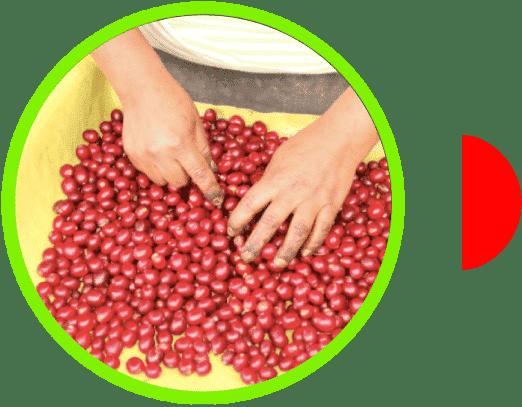 Cereza de café de Cajamarca Perú